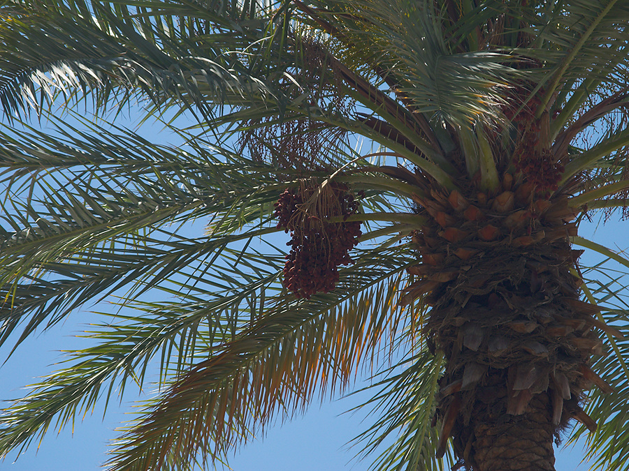 date-palm-with-fruit-Oasis-Date-Gardens-Thermal-CA-2010-04-24-IMG 4543