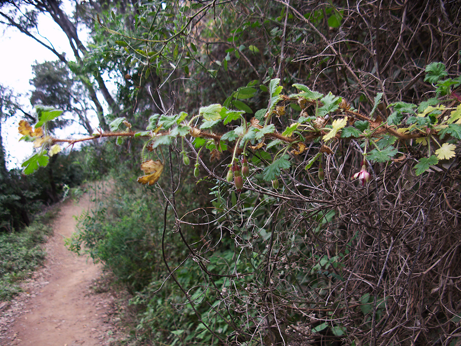 Ribes-californicum-gooseberry-Valley-View-trail-Pfeiffer-Big-Sur-2011-01-02-IMG 0333
