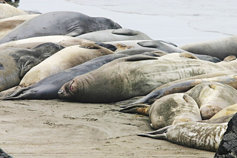 young elephant seals resting together on the beach