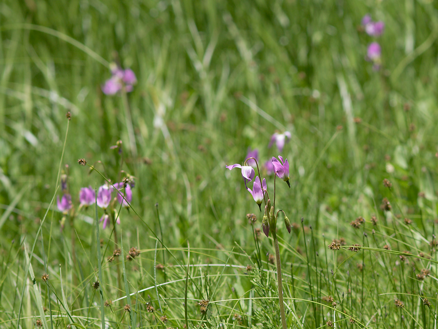 Dodecatheon-sp-Crescent-Meadow-SequoiaNP-2012-07-06-IMG 5934