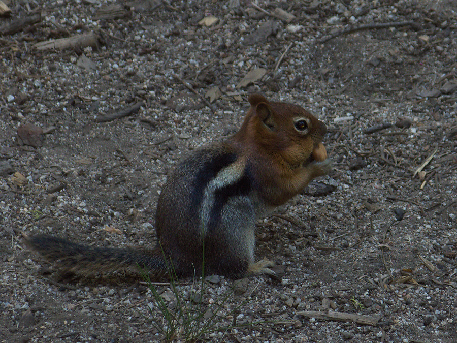 chipmunk-with-full-cheeks-Stony-Creek-camp-SequoiaNP-2012-08-01-IMG 2471
