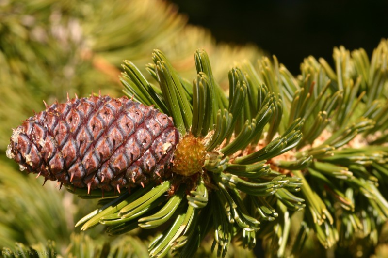 bristlecone-cone-2nd-year