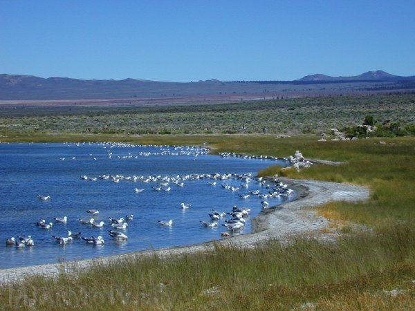 Mono-Lake-california-gulls-feeding-mm4.jpg