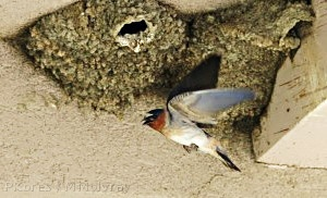 Mono-Lake-cliff-swallows-nesting-mm3.jpg