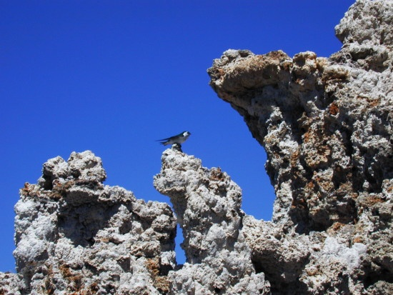 Mono-Lake-violet-green-swallows-on-tufa-mm4