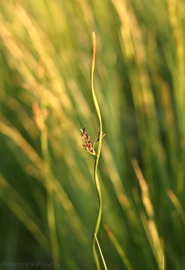 spiral-sedge-Owens-Creek-mm