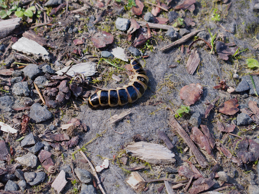 striped-grub-Armstrong-Redwoods-SP-2016-03-18-IMG 6617