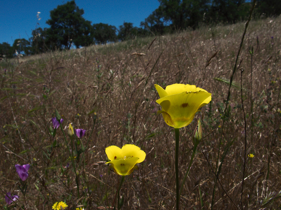 Calochortus-luteus-yellow-mariposa-lily-meadows-Hwy-120-W-of-Yosemite-2010-05-23-IMG 5518