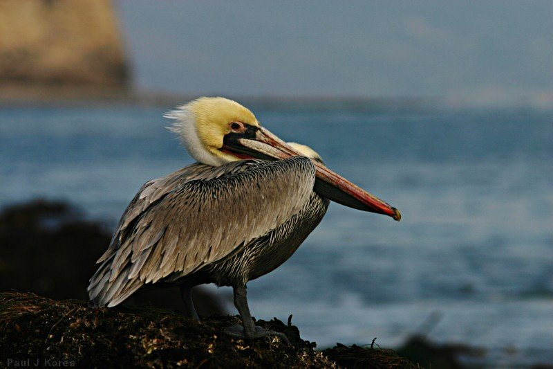 brown-pelican-dume-16