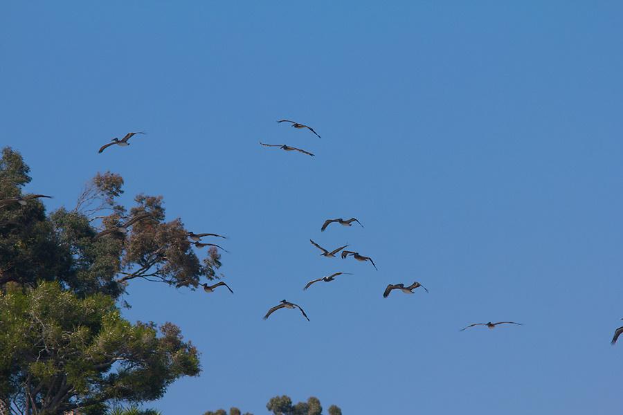 brown-pelicans-flying-Point-Dume-tide-pools-2012-07-02-IMG 5830