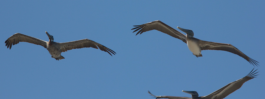 brown-pelicans-flying-Point-Dume-tide-pools-2012-07-02-IMG 5837