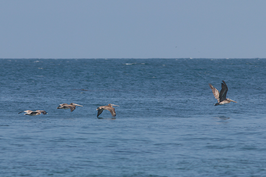 brown-pelicans-flying-Point-Dume-tide-pools-2012-07-02-IMG 5845