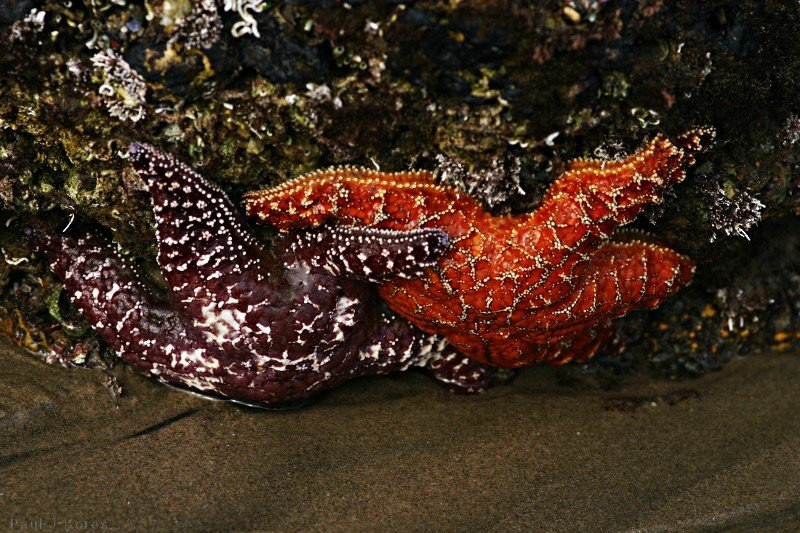 starfish-red-orange-dume