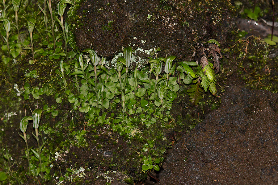 Pterostylis-sp-greenhood-orchid-colony-Rangitoto-summit-track-26-07-2011-IMG 3213