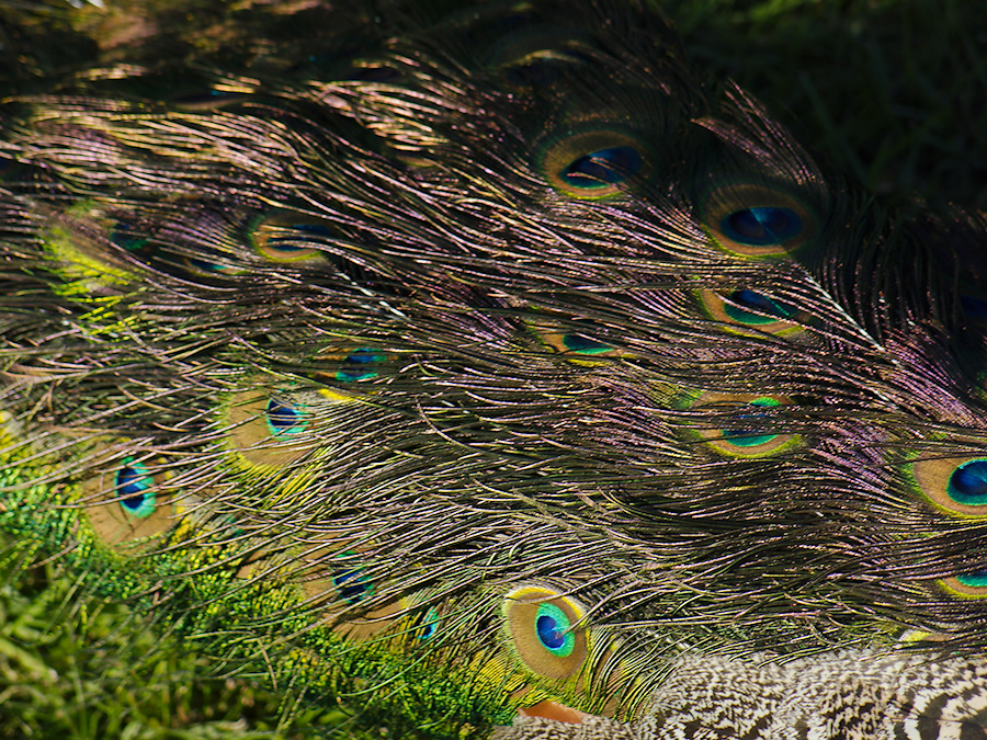 peacocks-at-Shakespear-Park-Auckland-2013-07-04-IMG 2325