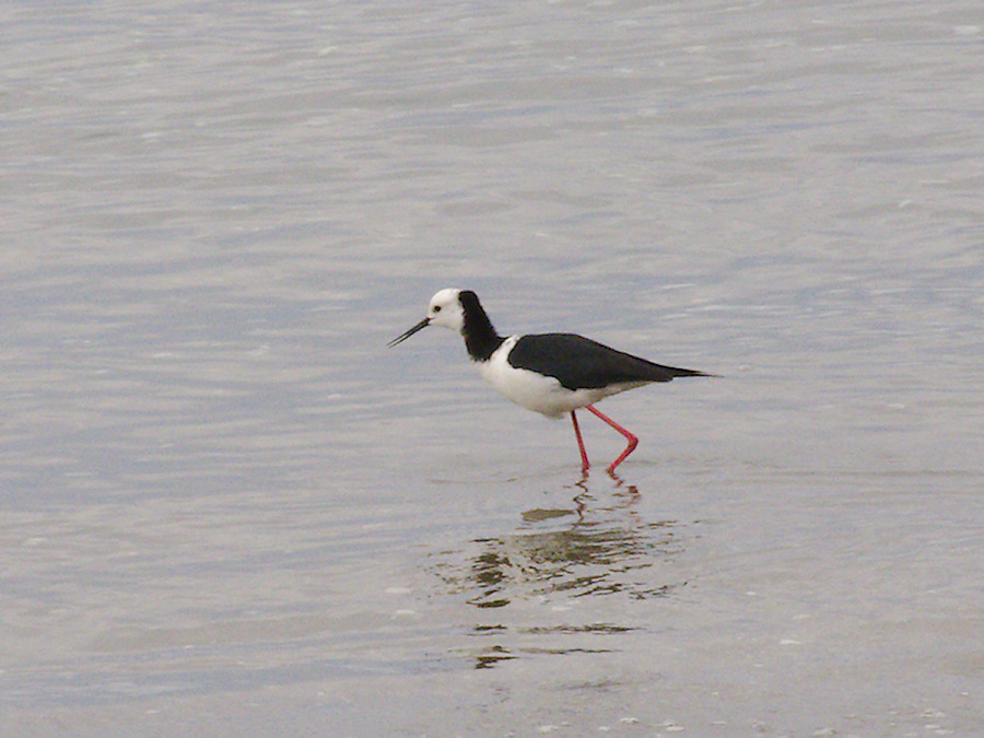 pied-stilt-beach-at-Wenderholm-ARC-Reserve-2013-07-19-IMG 2719