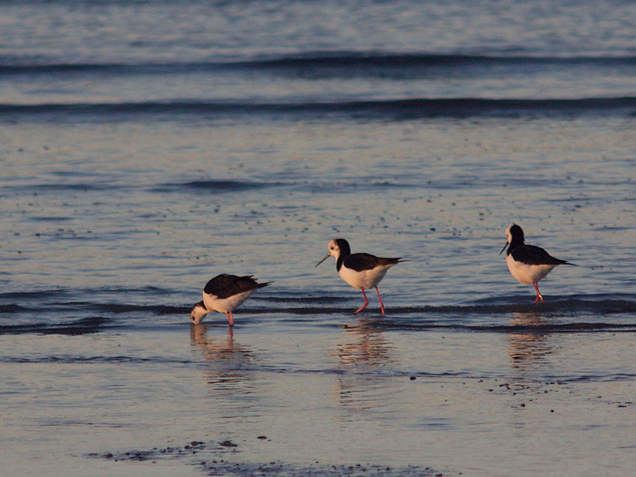 pied-stilts-Rays-Rest-Miranda-Bird-Reserve-2013-07-01-IMG 8698