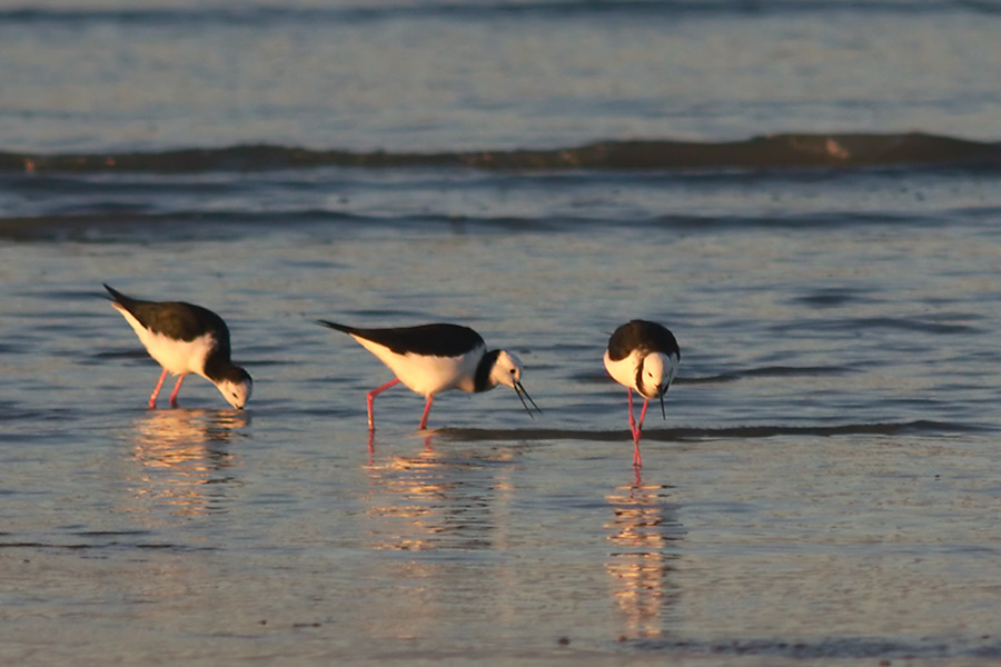 pied-stilts-Rays-Rest-Miranda-Bird-Reserve-2013-07-01-IMG 8718 v2