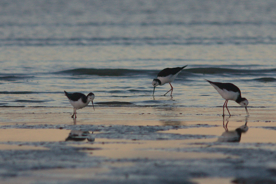 pied-stilts-Rays-Rest-Miranda-Bird-Reserve-2013-07-01-IMG 8729