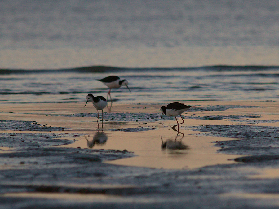 pied-stilts-Rays-Rest-Miranda-Bird-Reserve-2013-07-01-IMG 8747