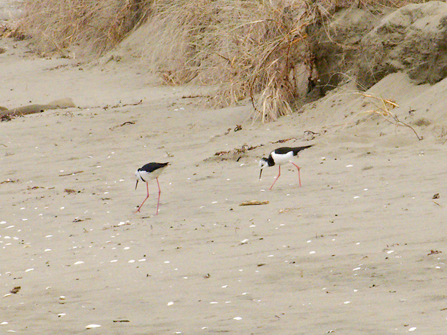 pied-stilts-beach-at-Wenderholm-ARC-Reserve-2013-07-19-IMG 2699