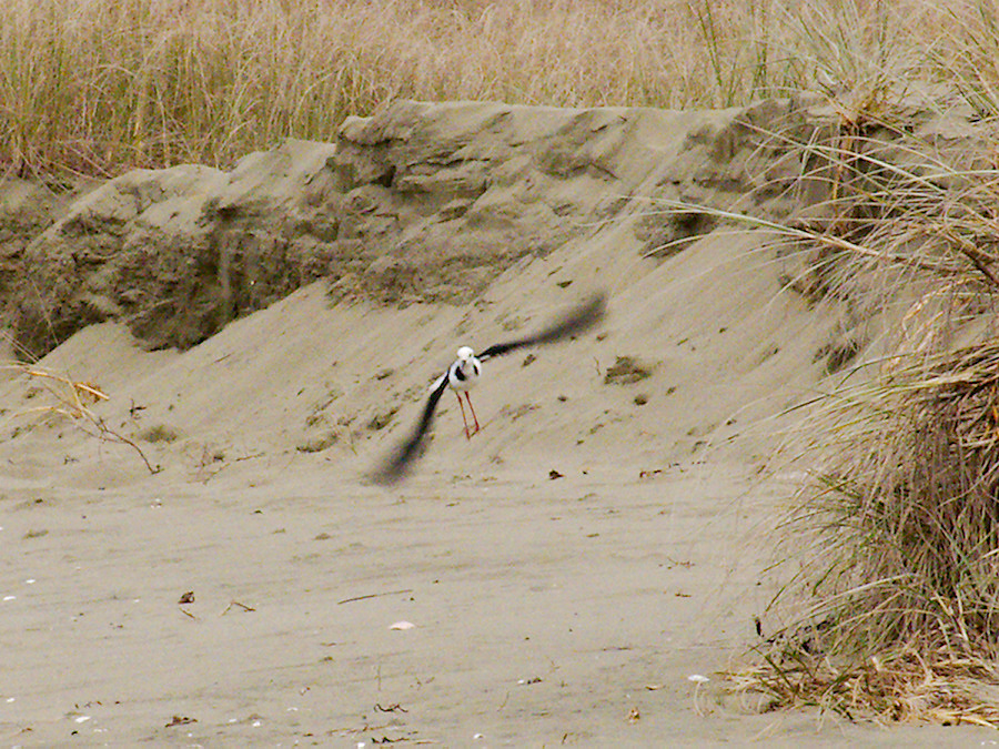 pied-stilts-beach-at-Wenderholm-ARC-Reserve-2013-07-19-IMG 2702