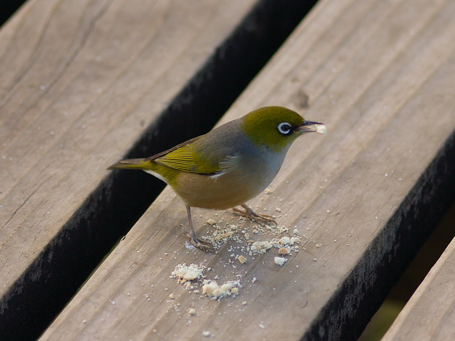 silvereye-birds-Rangitoto-summit-26-07-2011-IMG 3249