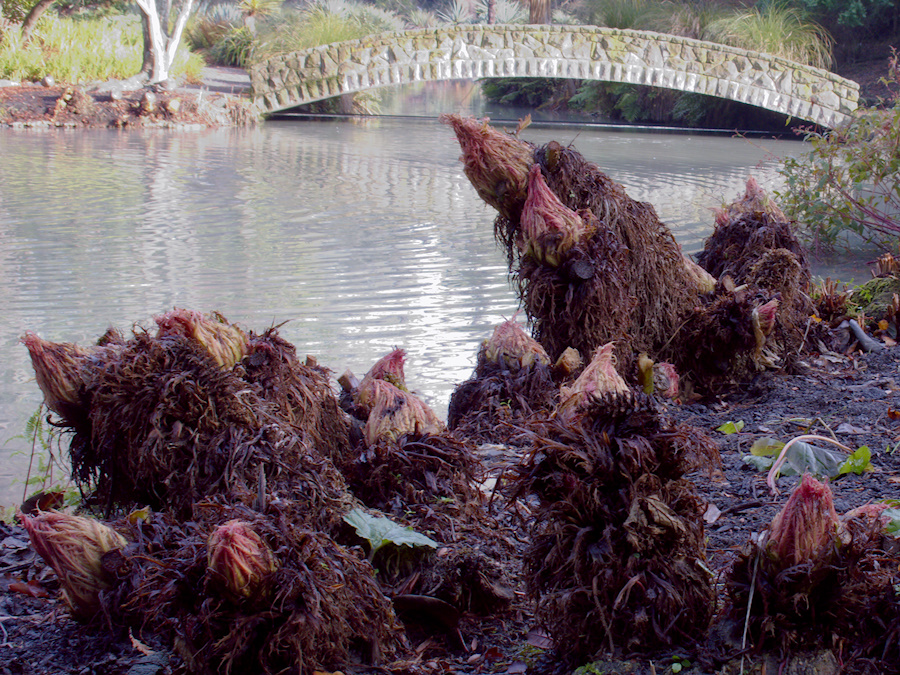 Gunnera-sprouting-Hagley-Bot-Gard-Christchurch-2013-05-31-IMG 0928