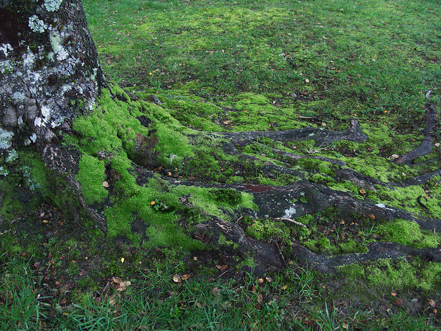 Nothofagus-sp-beech-mosses-among-roots-Kiriwhakapappa-13-06-2011-IMG 8499