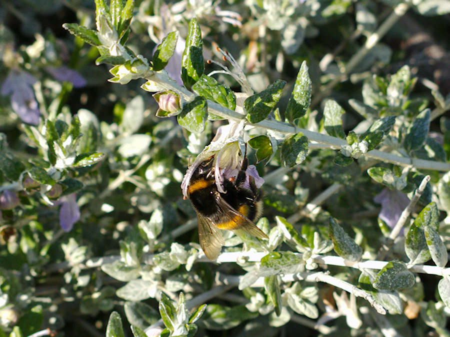 orange-bumblebee-in-sage-Tahunanui-Beach-Nelson-2013-06-11-IMG 1267