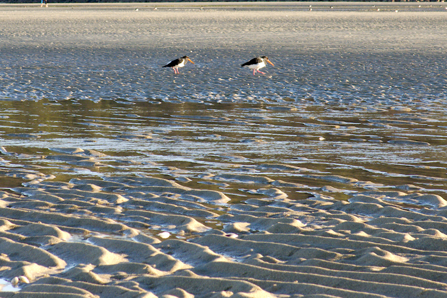 oystercatchers-Marahau-Beach-at-low-tide-2013-06-06-IMG 1185