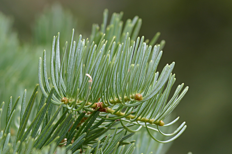 white-fir-needles-Bryce-2005-07-25