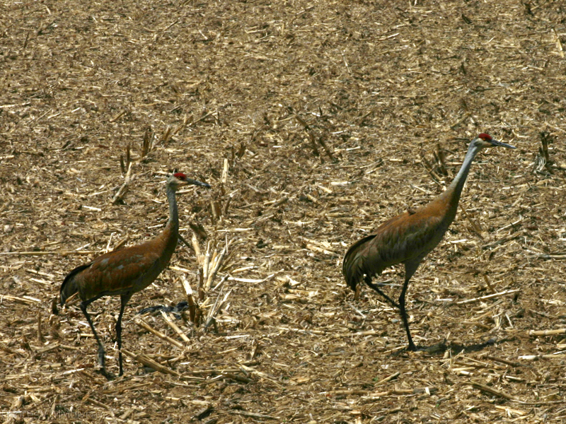 sandhill-crane-pair-in-stubble-field-nr-Stoughton-WI-2008-05-22-img 7182