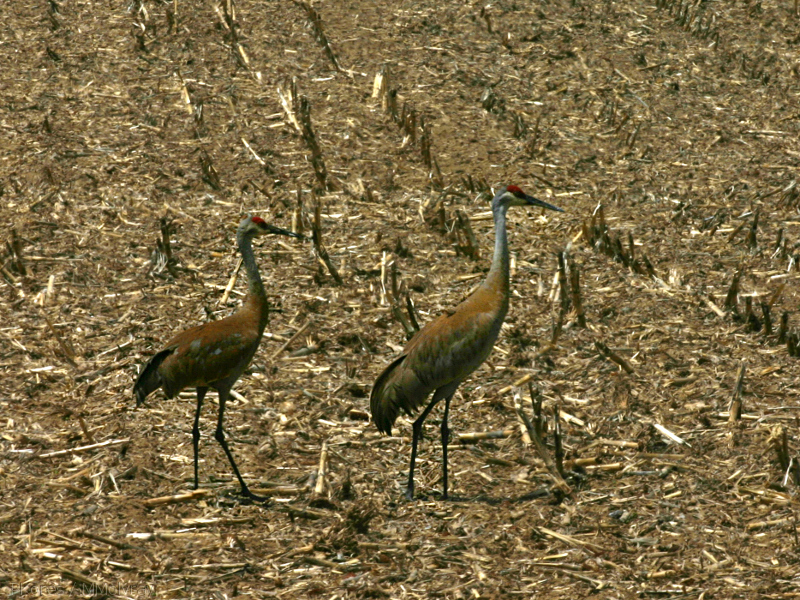 sandhill-crane-pair-in-stubble-field-nr-Stoughton-WI-2008-05-22-img 7184
