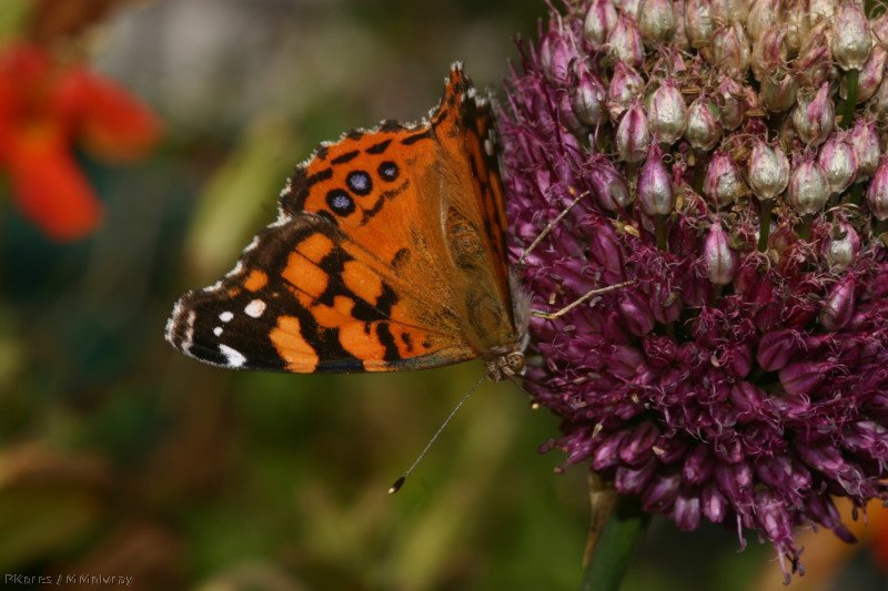 butterfly-orange-on-allium-13-good-sm