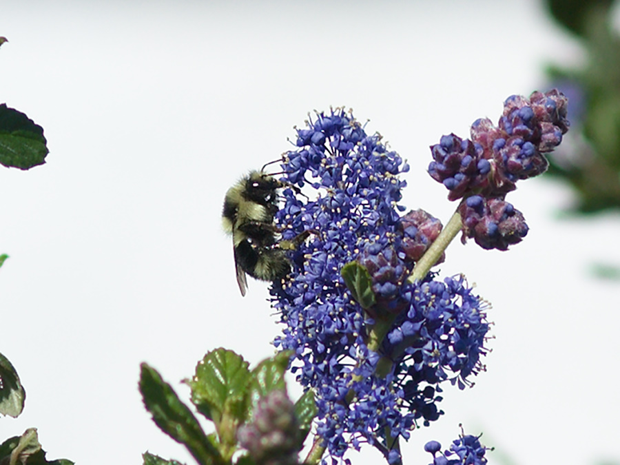 orange-rumped-bumblebee-Bombus-melanopygus-on-Ceanothus-oliganthus-in-garden-2012-04-27-IMG 4704