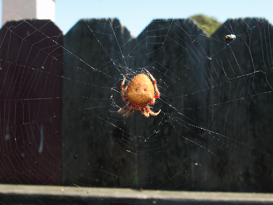 orb-weaving-spider-large-orange-2010-10-22-IMG 6509