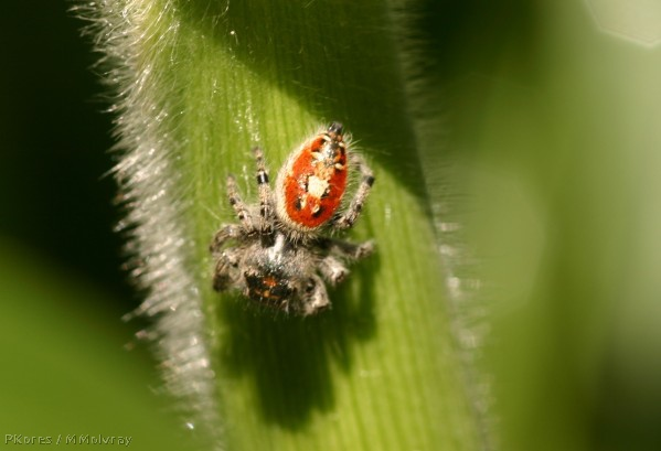 red-hunting-spider-on-corn.jpg