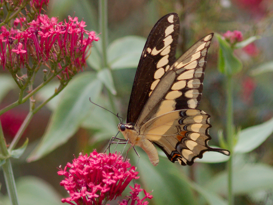 tiger-swallowtail-butterfly-Papilio-glaucus-in-garden-on-Centaurea-Jupiters-beard-2013-08-08-IMG 9805