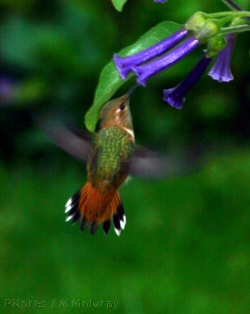 allens-hummingbird-late_may2006-6-sm.jpg
