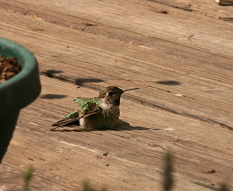 hummingbird stretched out on wooden deck to warm up in the morning sun
