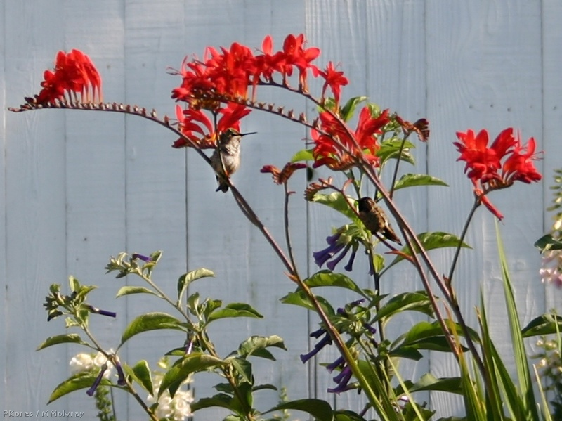 hummingbirds in red crocosmia